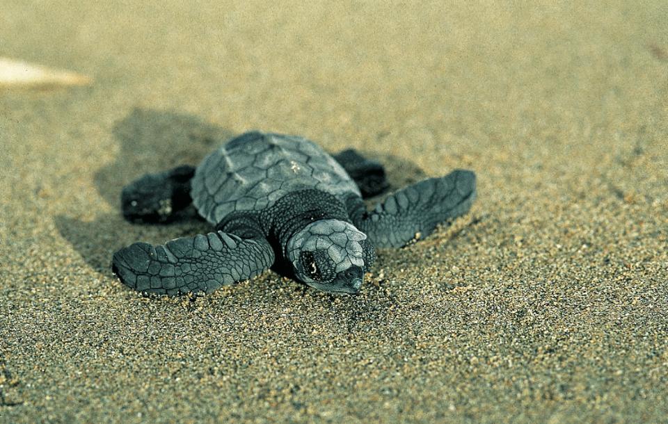 tortugabebe-costarica