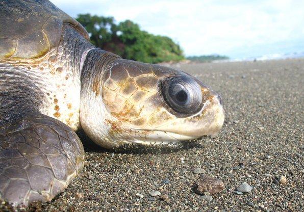 corcovado-tortuga-costa-rica