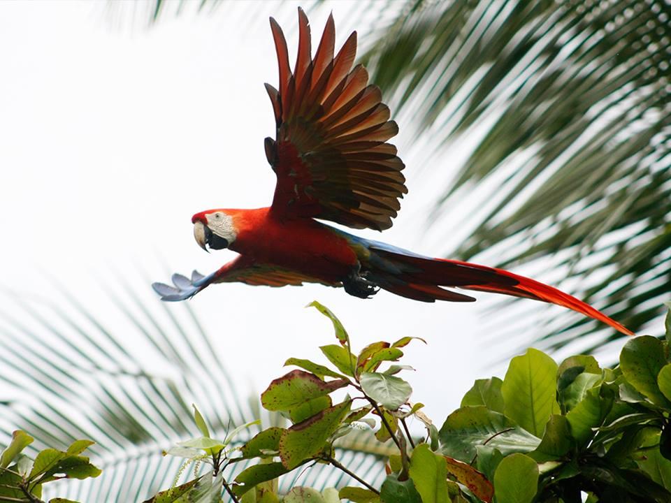 lapa-costa-rica-corcovado