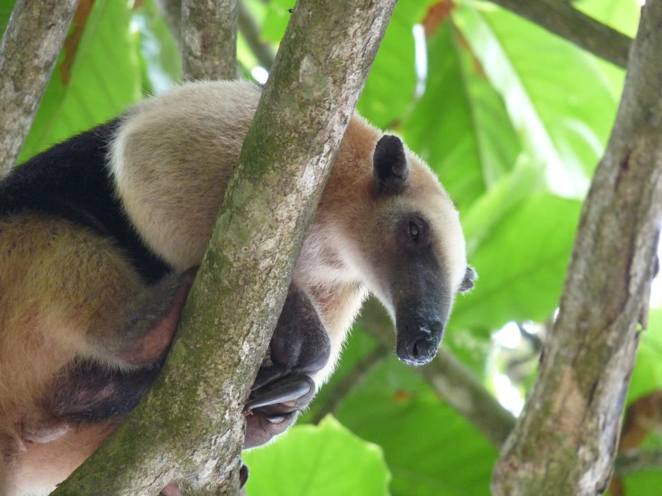 oso-hormiguero-costa-rica