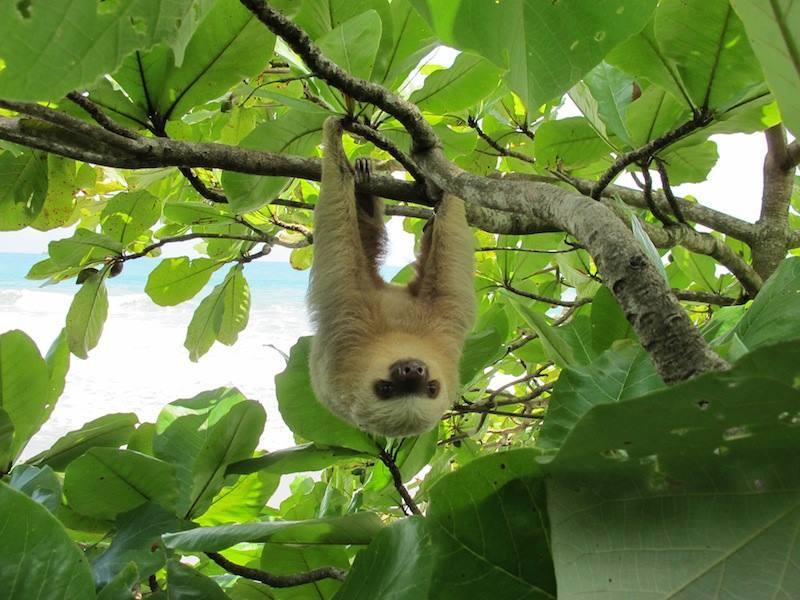 perezoso-pacifico-sur-parque-nacional-sloth