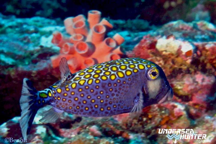 spotted-boxfish-coco-island