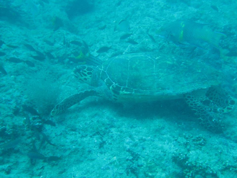 tortuga-isla-del-caño
