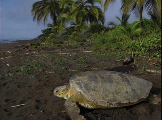 tortuga-playa-tortuguero