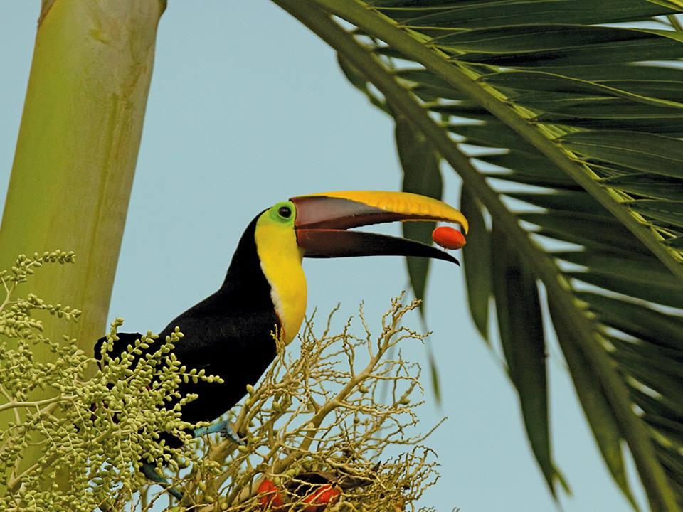 tucan-costa-rica