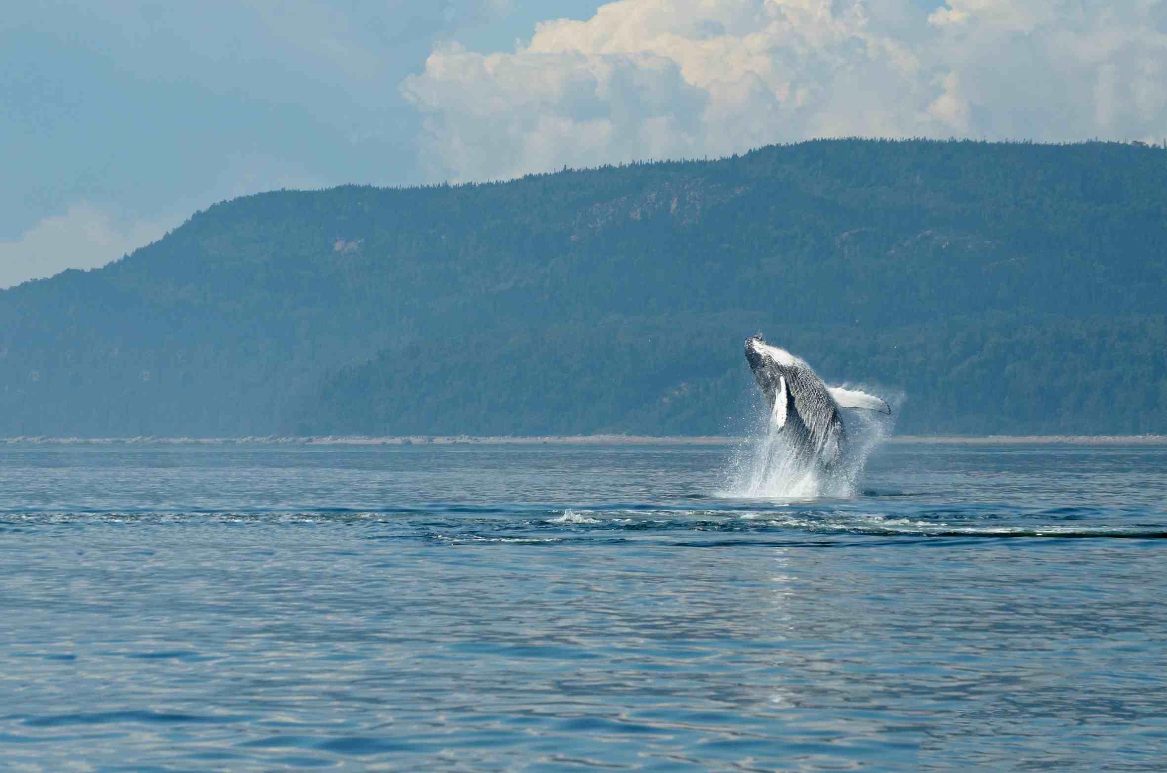 ballena-jorobada-costa-rica