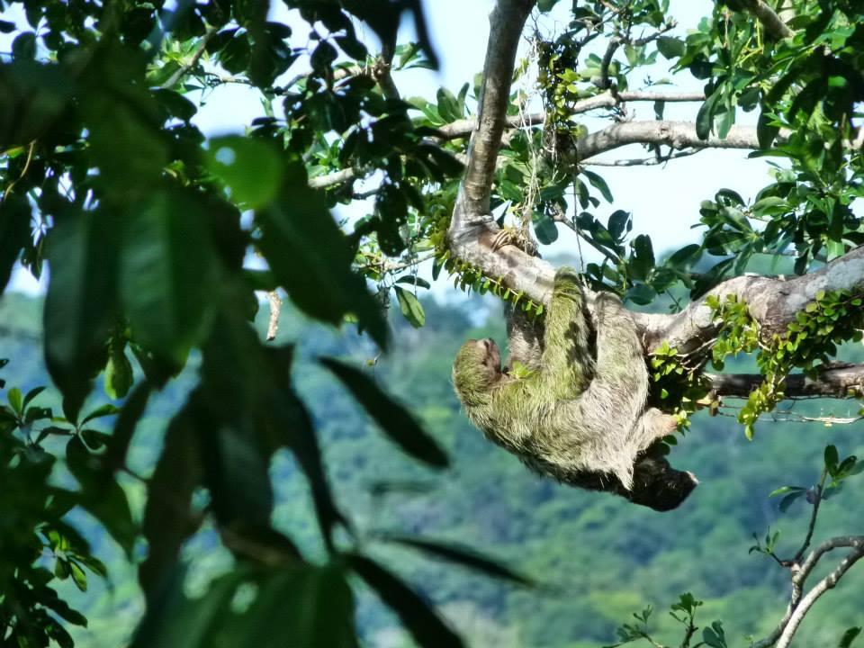 perezoso-paresseux-mangrove-costa-rica